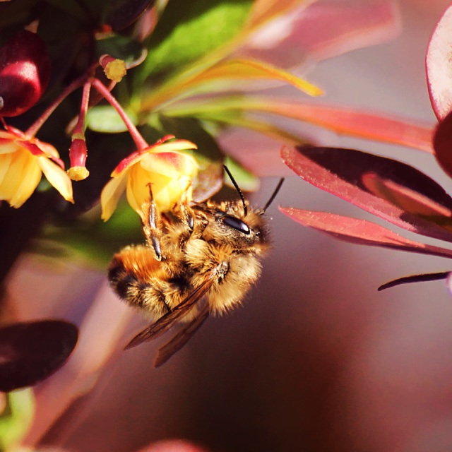 Bee in Barberry by Donnie Nunley